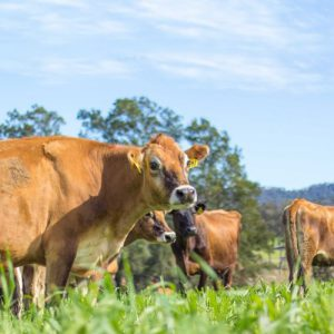 buy online Jersey Cows. Brown cows with good milk production
