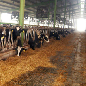 organized feed foe cows in large dairy farms