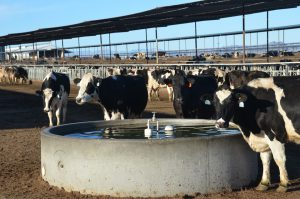 How to reduce Heat Stress in Holstein Friesian?